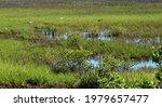 Marshland Of Florida Landscape...