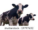 Two Inquisitive Cows Looking A...