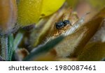 Salticidae Spider  Or Jumping...