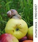 On Apple Snail