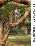 Green Monkey   Chlorocebus...