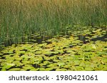 A Nuphar Lutea  The Yellow...