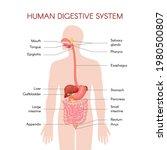 Anatomy Of The Human Digestive...