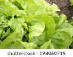 fresh green salad on a bed   Shutterstock . vector #198060719