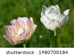 Peony Shaped Tulip.  Mother Of...