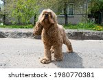 Curly Haired Cocker Spaniel...