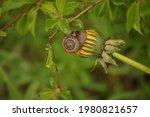 Snail Sits On A Dandelion...