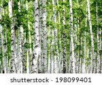 white birch trees in the forest ...   Shutterstock . vector #198099401