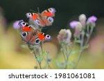 Peacock Butterflies Feeding On...