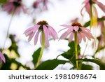Blooming Purple Coneflower....