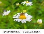 A Bee On A Chamomile Flower....