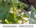 Okra Vegetable On Plant In Farm....