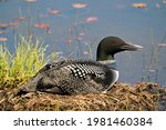 Common Loon Close Up View...
