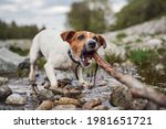 Small Jack Russell Terrier...