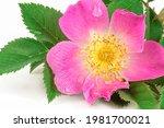 Wild Rose  Rosa Canina  With...