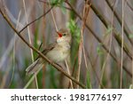 Marsh Warbler  Acrocephalus...