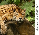 A Photo Of A Male Jaguar ...