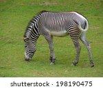 Zebra Grazing