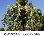 Elkhorn or Staghorn fern plant with scientific name platycerium bifurcatum an evergreen epiphytic fern that produces distinctive fertile fronds resembling the forked antlers of a stag.