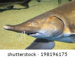 Small photo of Sturgeon (Acipenser medirostris)