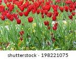 tulips   Shutterstock . vector #198221075