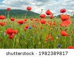 Poppy Field In Summer Warm Day...