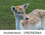 Dam Deer Damtier Female  Deer...