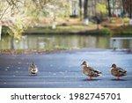 Ducks Swim On The Lake In...