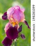 Blooming Purple Bearded Iris I...
