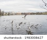 Feeding Seagulls On A Pond In A ...