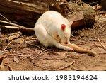 Cute White Sleeping Kangaroo On ...
