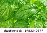 Fresh Green Basil Leaves As A...