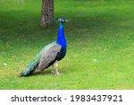 Bright Blue Beautiful Peacock...