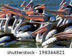 10  Australian Pelicans At The...