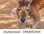 View The Kangaroo's Face From...
