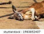 Kangaroo Lying On The Ground...
