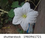Ivy Gourd Flower Is Known By As ...