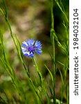 closeup of blue cornflower ...   Shutterstock . vector #1984032104