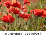 poppies. blooming red poppies... | Shutterstock . vector #198409067