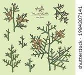 Collection Of Thuja Plicata ...