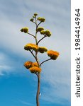 Yellow Agave Plant Flower...