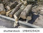 Sawed Tree That Fell On The...