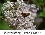 Pecks Skipper Butterfly On...