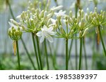 African Lily Amourette White...