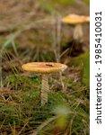 Poisonous Mushroom Amanita Or...