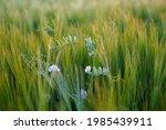 wild pea flowers in green rye...   Shutterstock . vector #1985439911