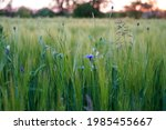 closeup of cornflowers in green ...   Shutterstock . vector #1985455667