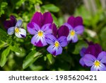 Blossom Violet Pansy Flowers On ...