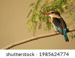 Brown Hooded Kingfisher Perched ...