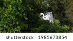 Great Egret Lands At Its Nest...